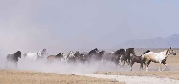Herd of Wild Horses Running -