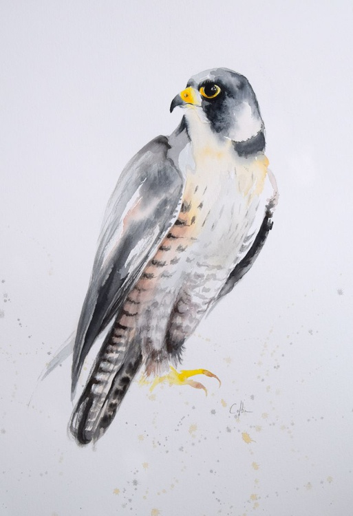 Peregrine Falcon - Image 0