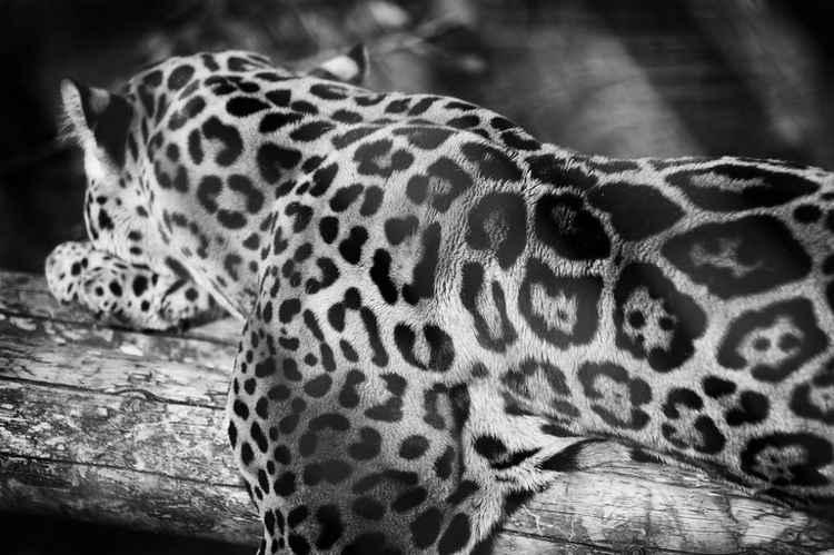 Jaguar(Panthera onca) -