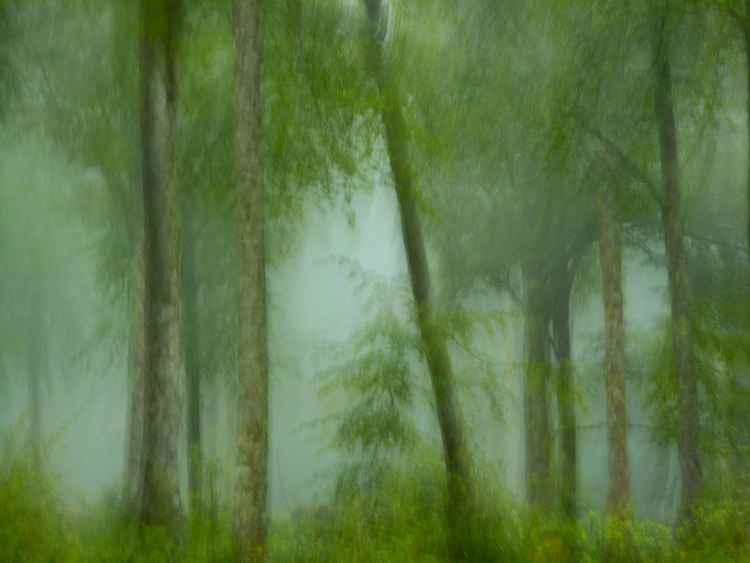 Arbres dans la brume....