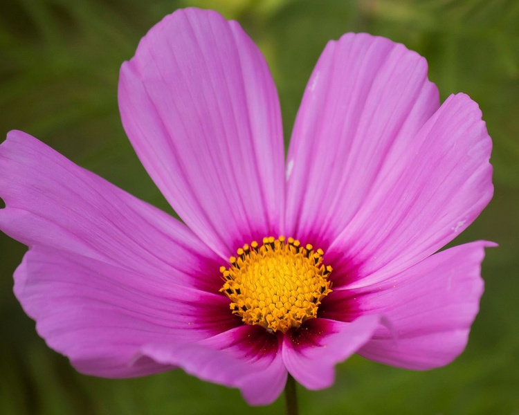 Cosmo Daisy - Image 0