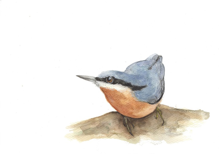 Nuthatch - Image 0
