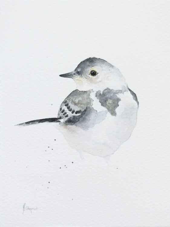 Young white wagtail (Motacilla alba) -