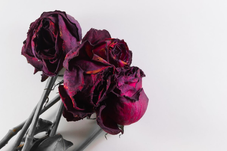 Drying Red Roses on White - Image 0