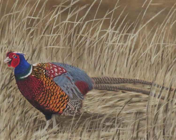 Pheasant -