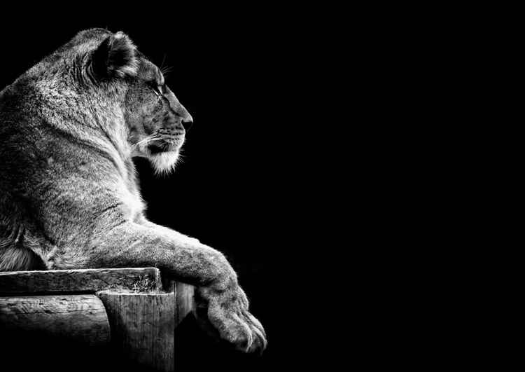 Lioness -