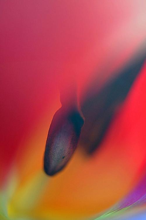 Red Tulip Macro - Image 0