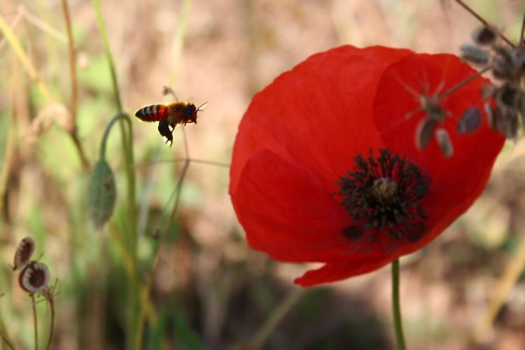 bee landing on poppy - Image 0