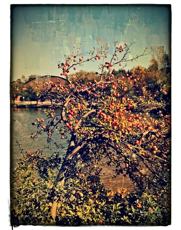 Apple Tree in Summer - Image 0