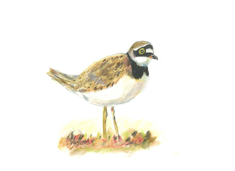 Semipalmated Plover - Image 0