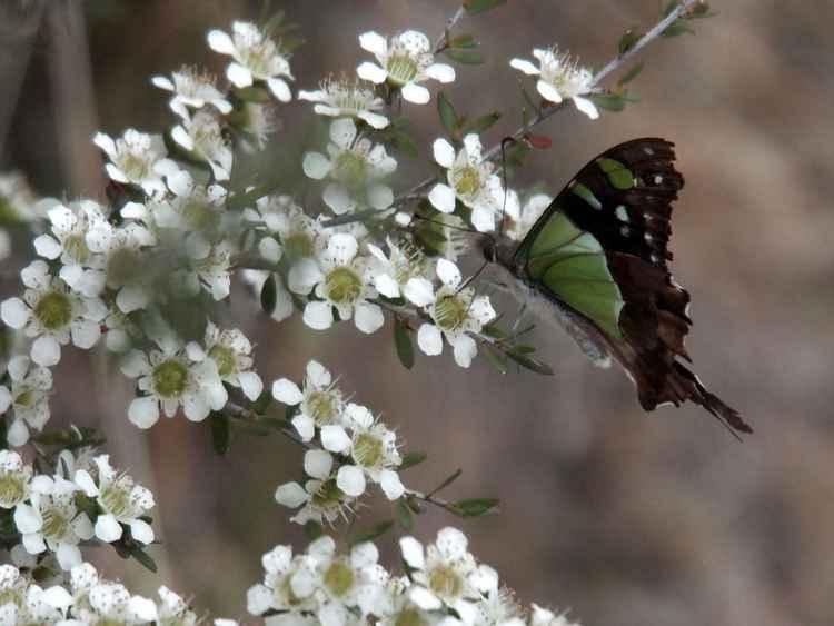 Macleay's Swallowtail No. 2 -