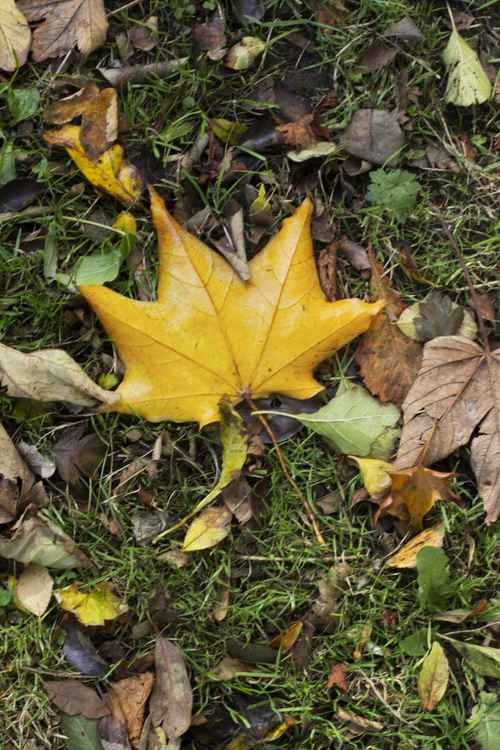 Yellow Autumn Leaf -