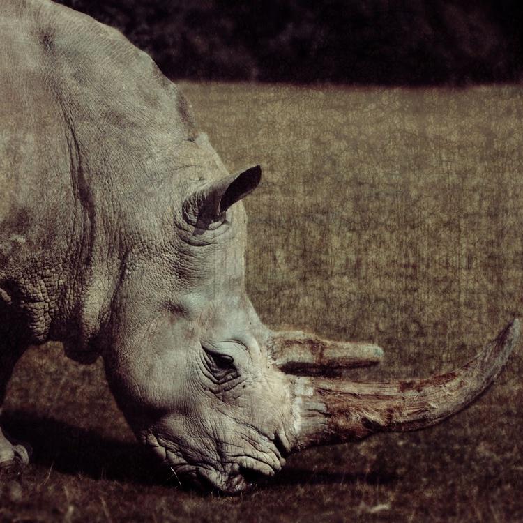 Rhinoceros - Image 0