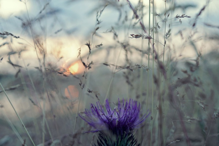Thistle At Sunset - Image 0