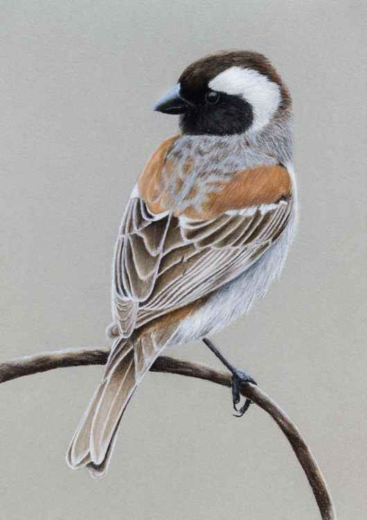 "Original pastel drawing ""Cape sparrow"" -"