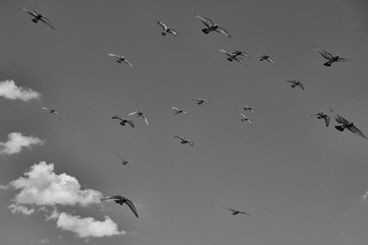 Pigeons   [#201505010] - Image 0