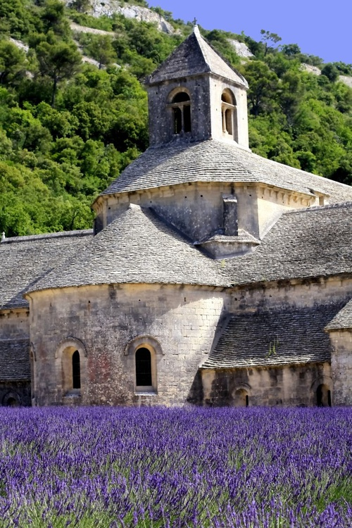 Lavender In Full Bloom Senanque Abbey Provence - Image 0