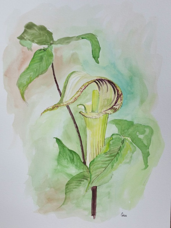 Jack-In-The-Pulpit - Image 0