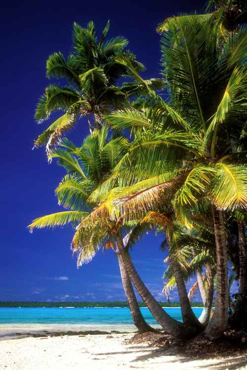 Palms Trees in Aitutaki -