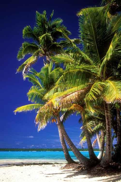 Palms Trees in Aitutaki