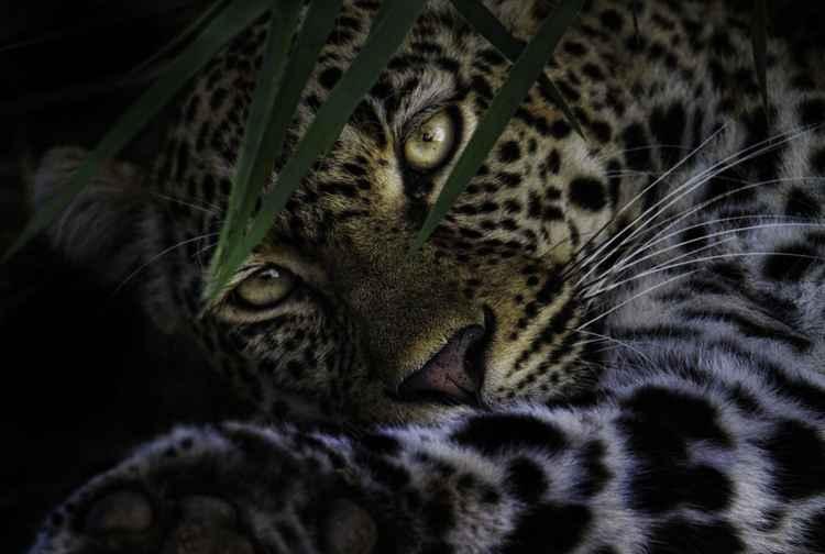 Eyes of a Predator -