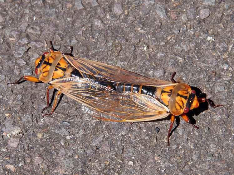 Cicada union -