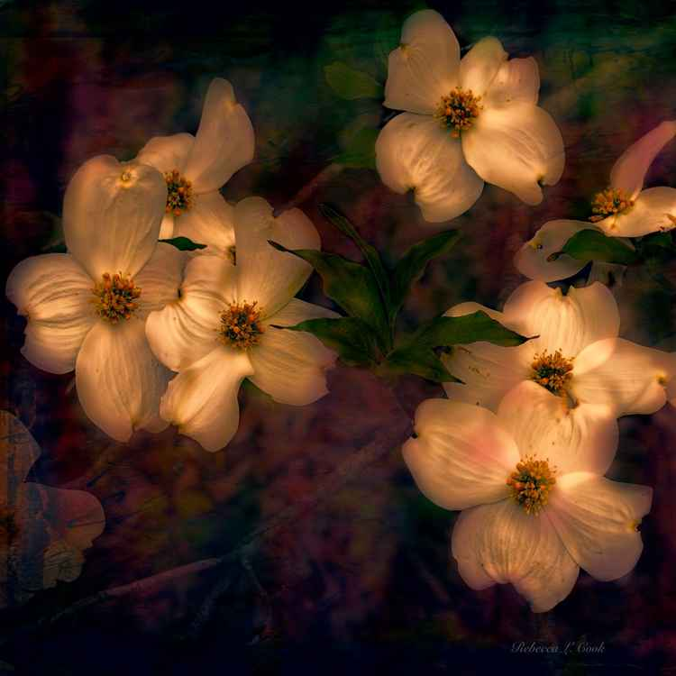 DOGWOOD FLOWERS ALIGHT -