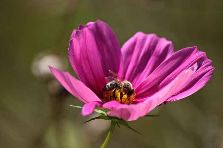 Bee on cosmos -