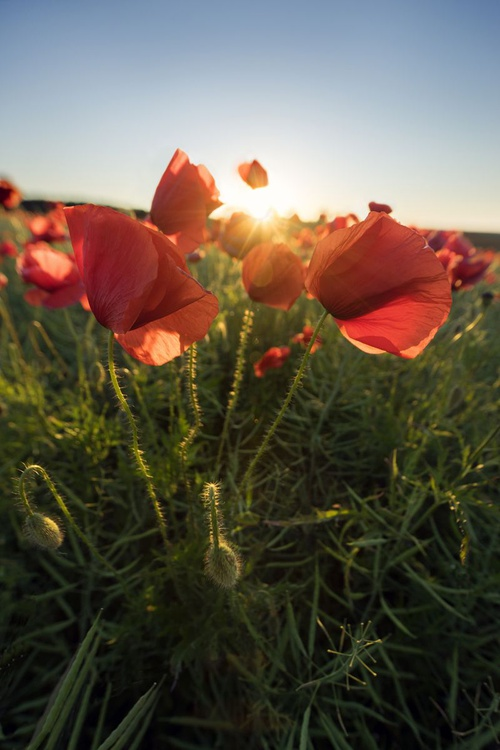 Poppy Field At Sunrise - Image 0