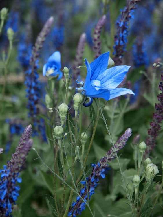 Blue field -