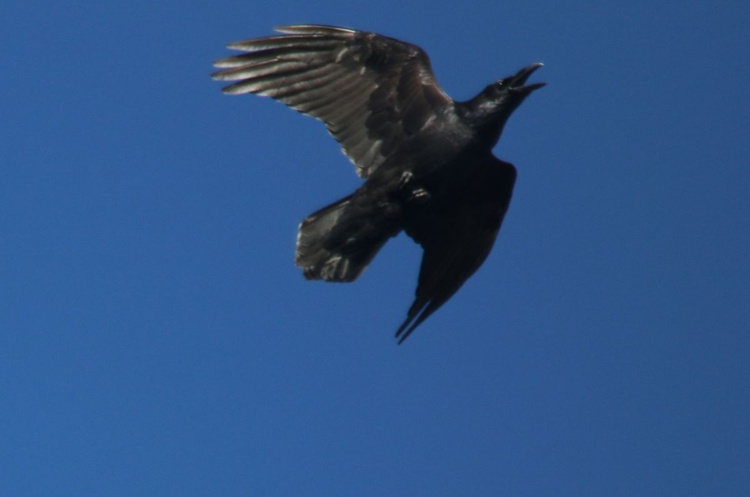 Raven Flies High and Strong - Image 0