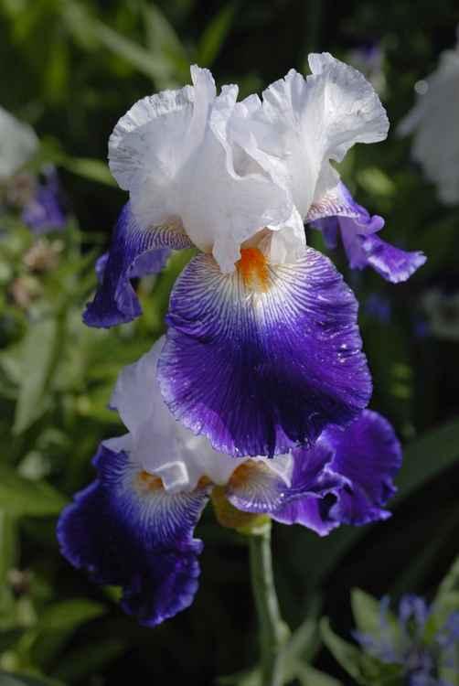Giverny Iris