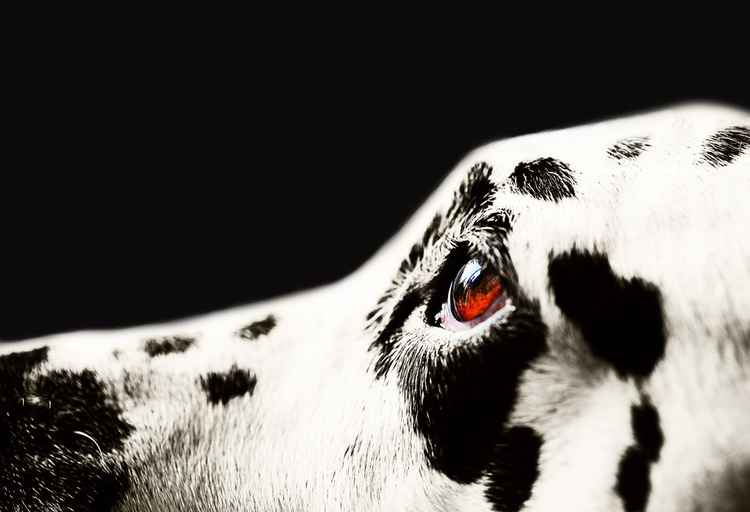 The Amber Eye. Kokkie. Dalmation Dog   (Ltd Edition of only 25 Fine Art Giclee Prints from an original photograph)