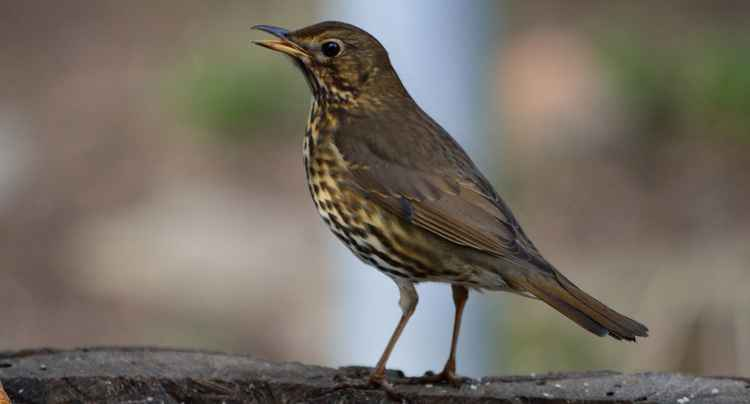 The Song Thrush Singing Her Song (Paper)