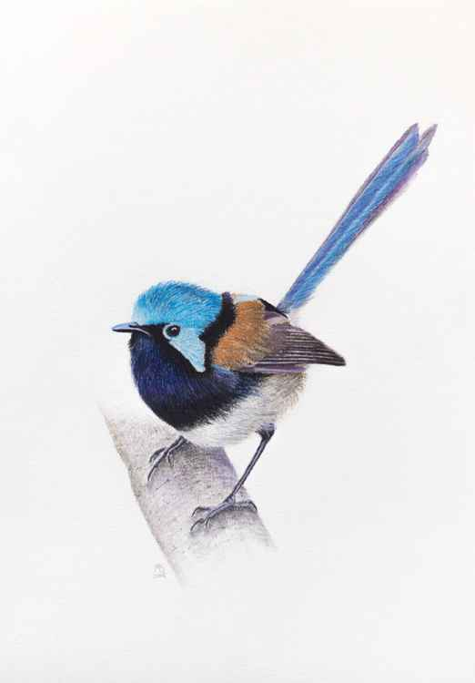 "Original pastel drawing ""Red-winged fairywren"" -"