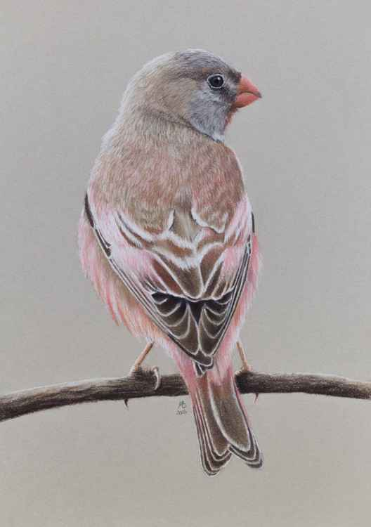 "Original pastel drawing ""Trumpeter finch"""