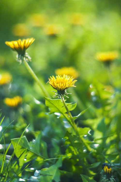 Happy Dandelion -