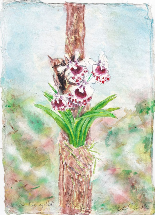 Oncidium equitant red and white - Image 0