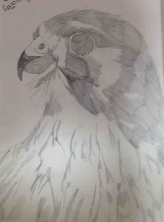 Perrigran falcon -