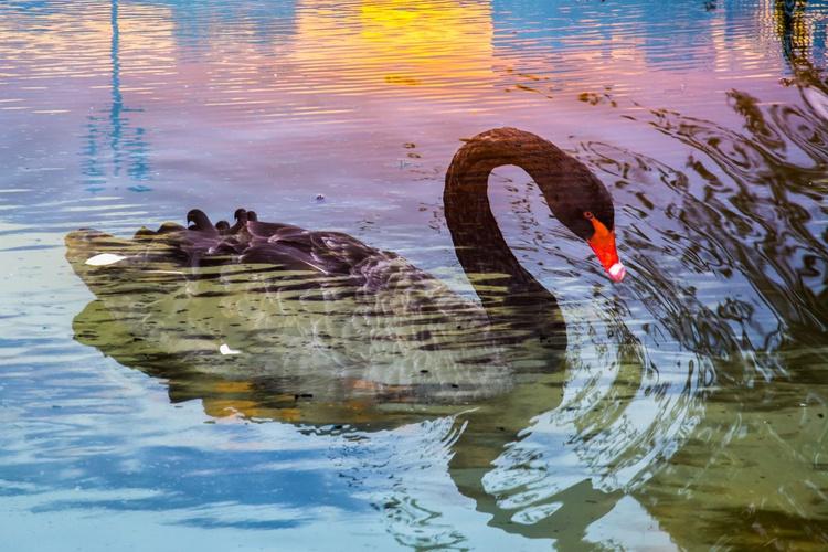 Black Swan - Image 0