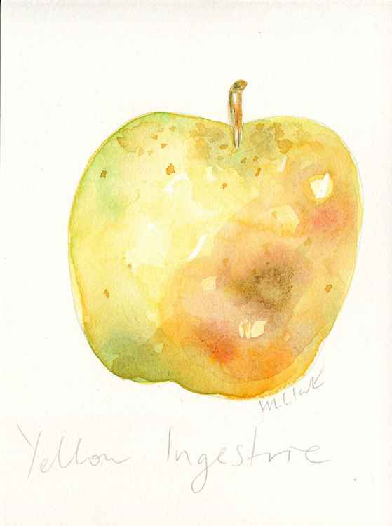 Yellow Ingestrie Apple Watercolour -