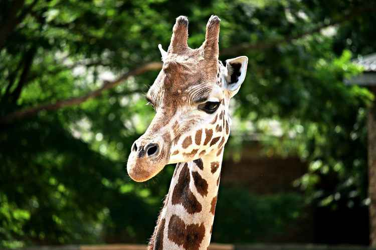 Beautiful portrait - Head of Giraffe Camelopardalis