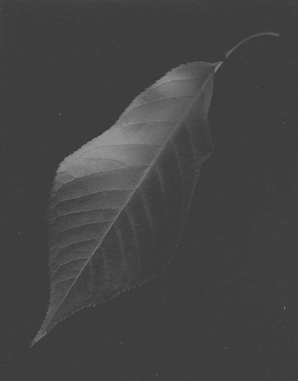 single leaf black background - Image 0