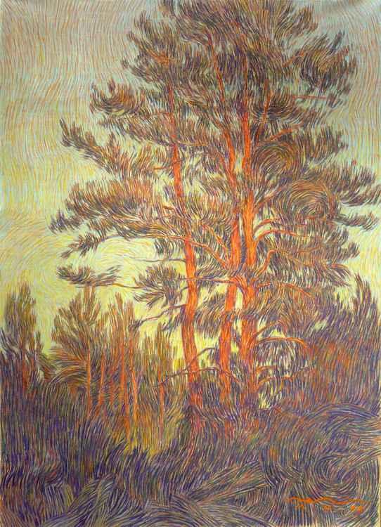 evening. pine-trees