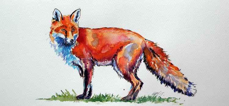 Red fox -
