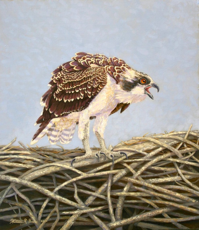 Young Osprey's Blue Yonder - Image 0