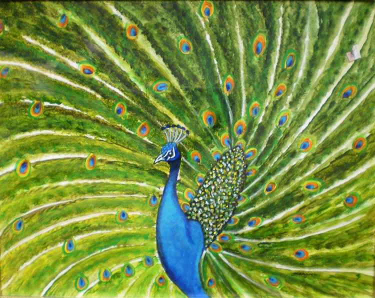 Glorious Peacock -