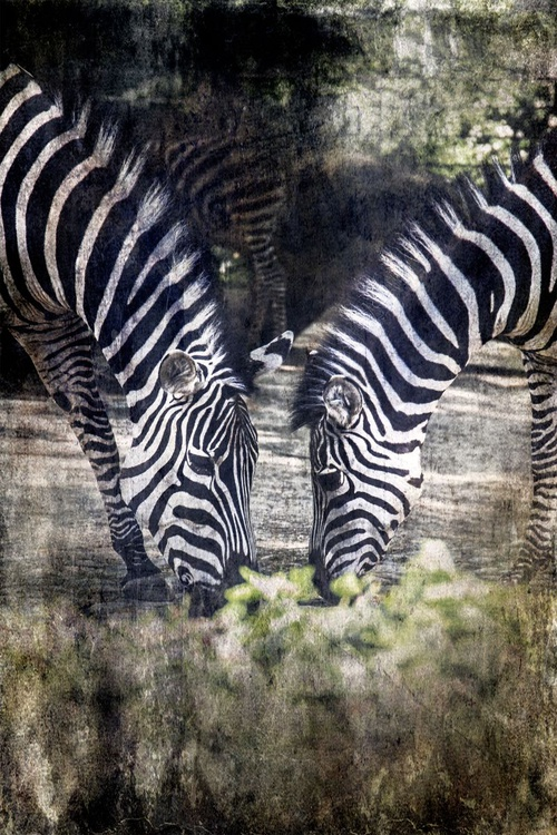 The Zebras Duo - Image 0