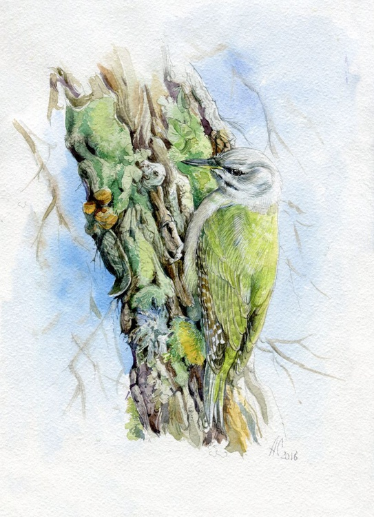 Original watercolour Green Woodpecker (Picus canus) - Image 0