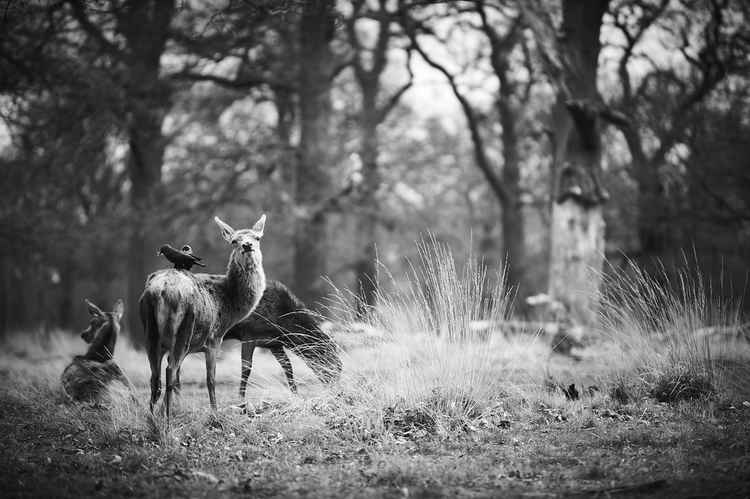 Deer and Crow -